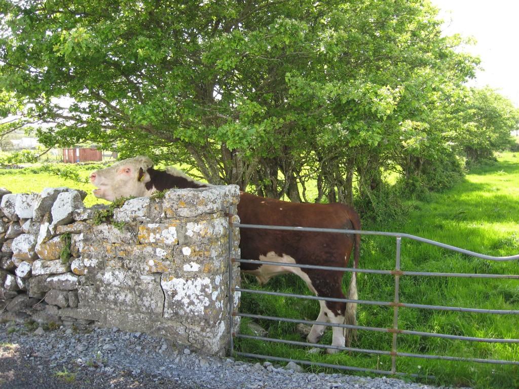 Bull, Kilfenora, County Clare