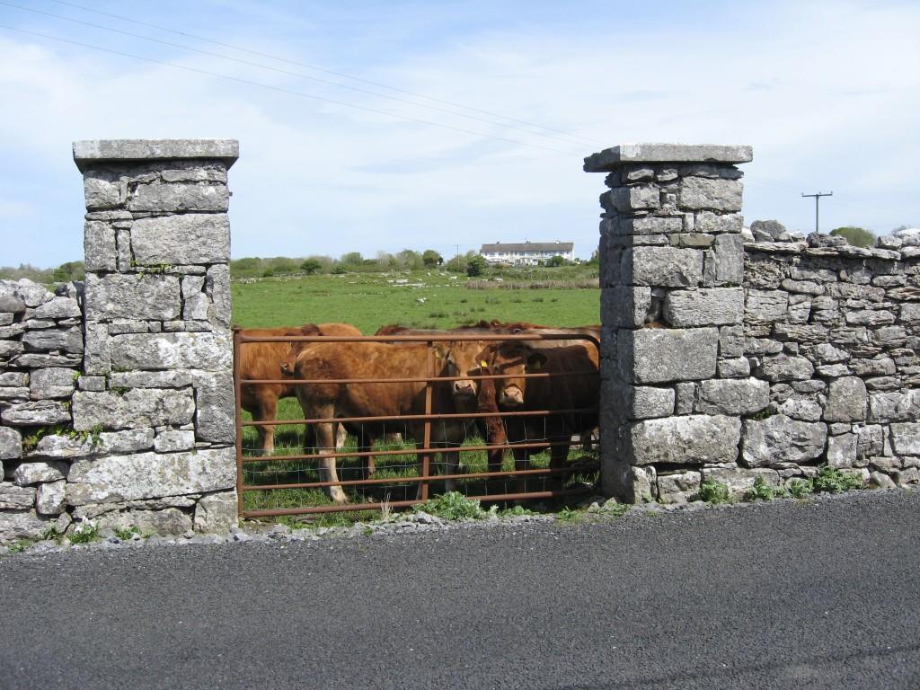 Cows, Kilfenora, County Clare