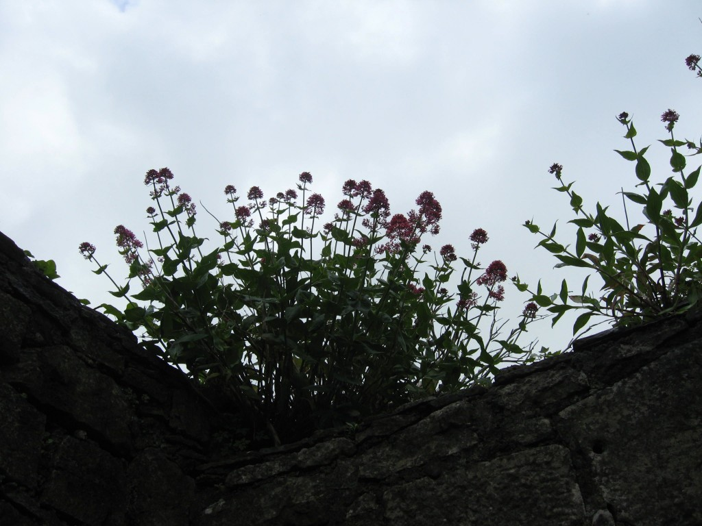 Plants atop the walls, Ennis Friary, County Clare
