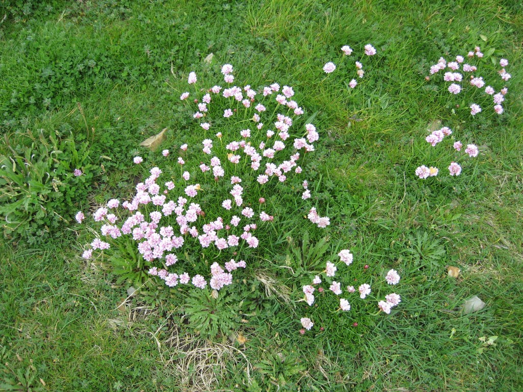 Pink flowers, cliffside, Kilkee, County Clare