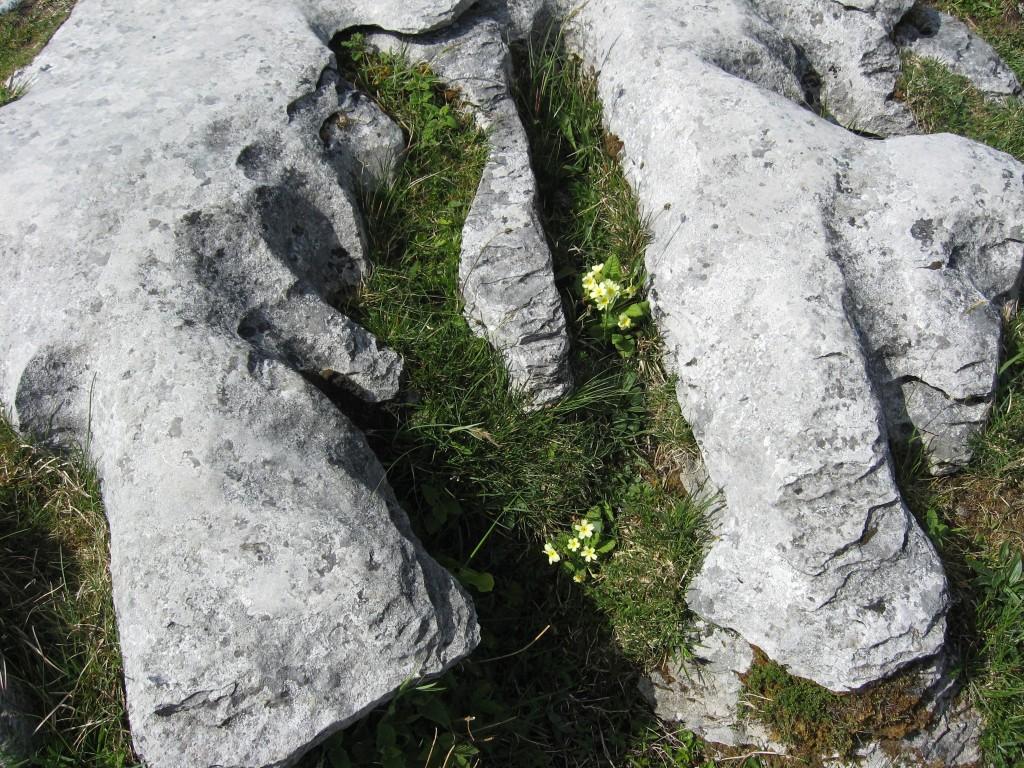 Primrose in limestone near Poll na Brón, County Clare