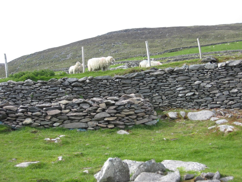 Dingle sheep & stone walls, County Kerry
